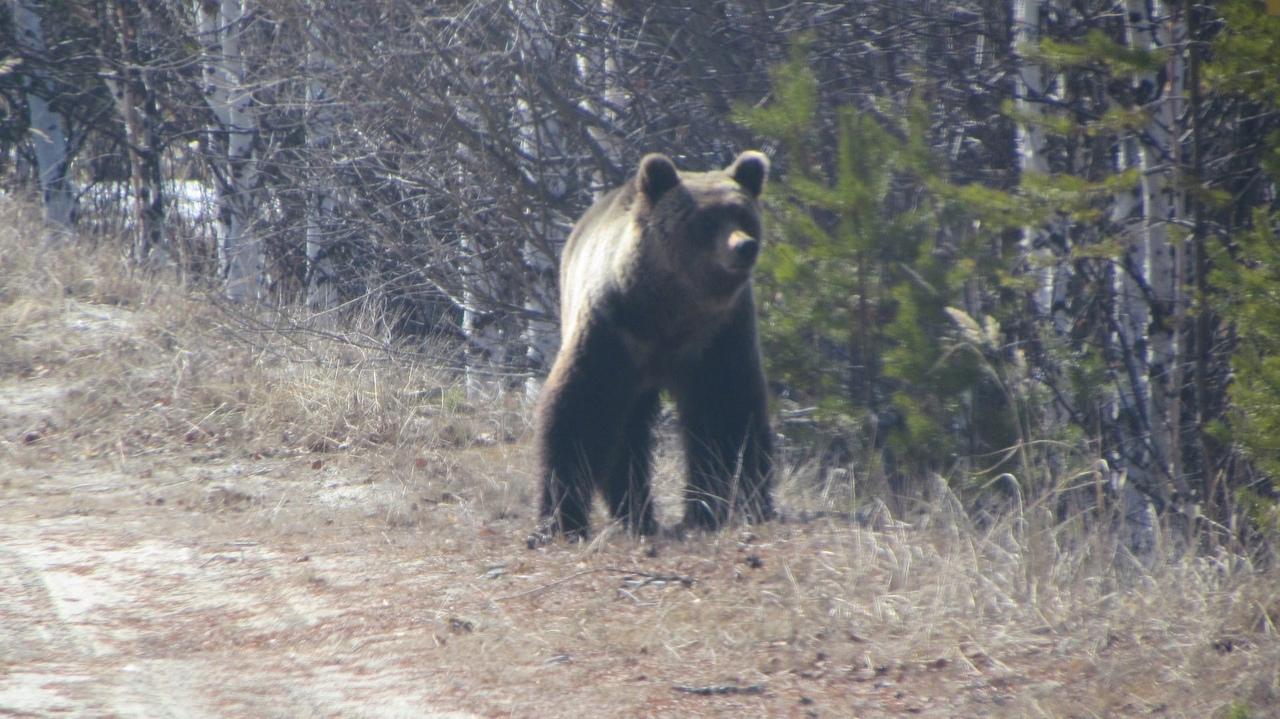 Уже в течение двух недель жители Зелёной зоны видят косолапого. Они звонили в дежурку уже раза четыре, на номер 112 позвонили жители и рассказали, что видели медведя по ул. Попова, который переместился к старому кладбище.