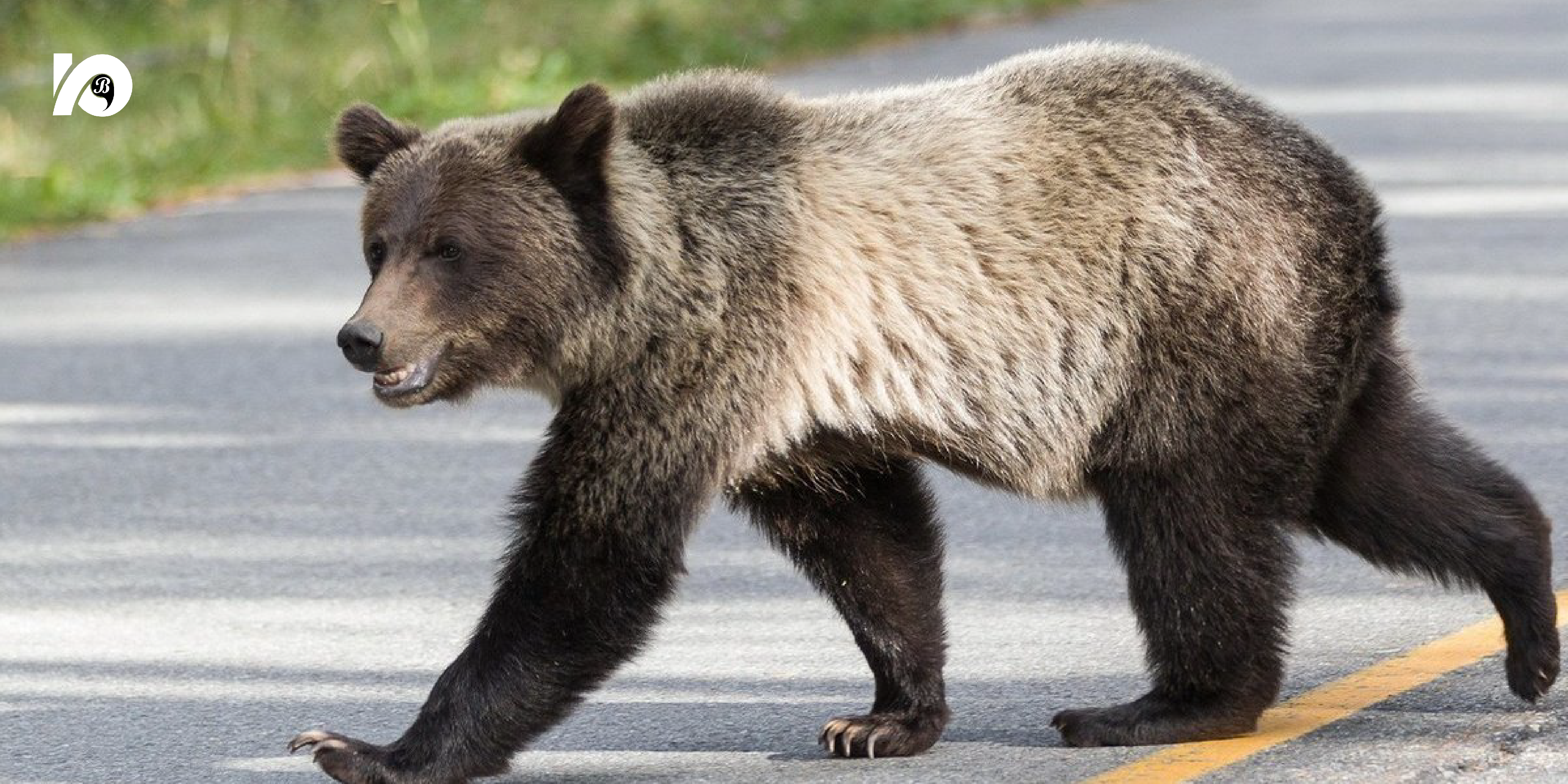 Жителей Югорска призывают быть бдительными и осторожными. Охотник Роман Якимов сообщил, что медведи вновь стали появляться в городе и его ближайших окрестностях.
