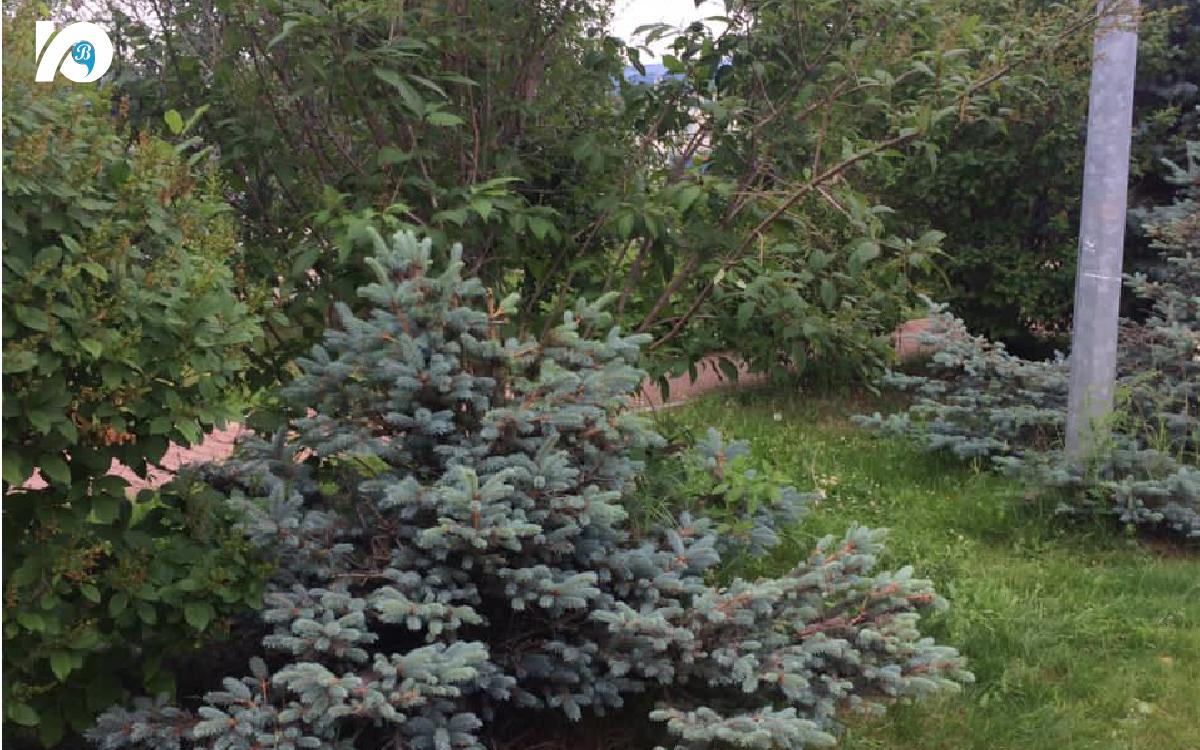 В Югре приживаются разные породы деревьев, но хвойные особенно хорошо приспособлены к северному климату.