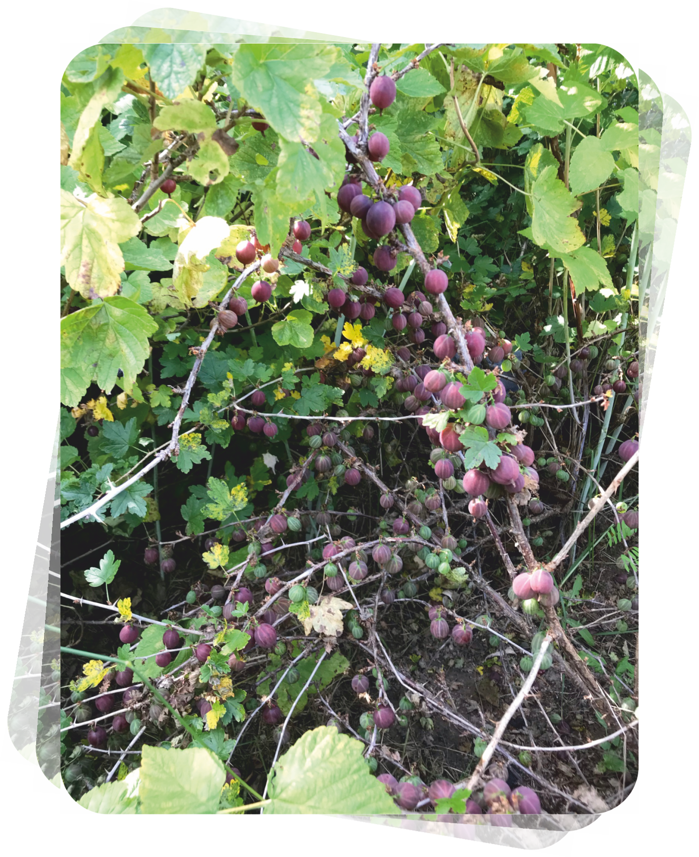 В этом году у Галины Дмитриевой ягод хоть отбавляй. Малина, смородина, ирга... Уже варенье готово, часть урожая перетерта с сахаром. Заготовки ждут своего часа на полках погреба. Но особенно удивил крыжовник. На кустах ягод больше, чем листьев, да и сами они крупные и очень сладкие. «Я предпочитаю не варенье из крыжовника делать, а перетирать его с сахаром. Вкуснятина получается!» - делится она.