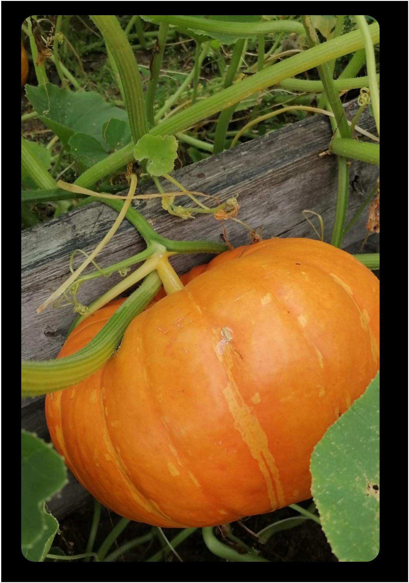 А это упитанные красавицы Лидии Линниковой. В один урожайный год она собрала с бахчи около 60 тыкв. Были увесистые экземпляры до 6 кг.