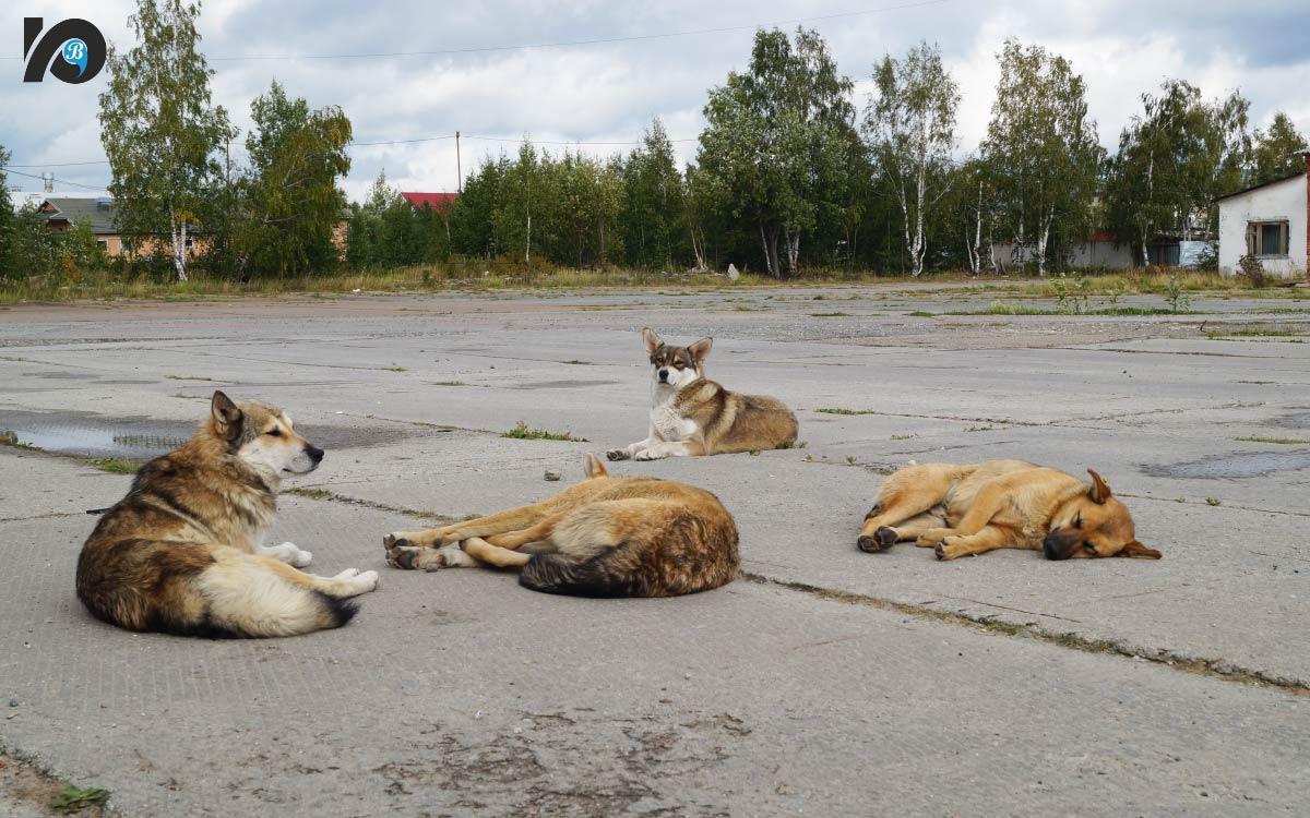 К концу года в Югорске появится приют для бездомных животных. С момента вступления в силу федерального закона об ответственном и гуманном отношении к животным количество бездомных собак на улицах только увеличилось. Ведь по новым правилам их отстрел и усыпление теперь под запретом