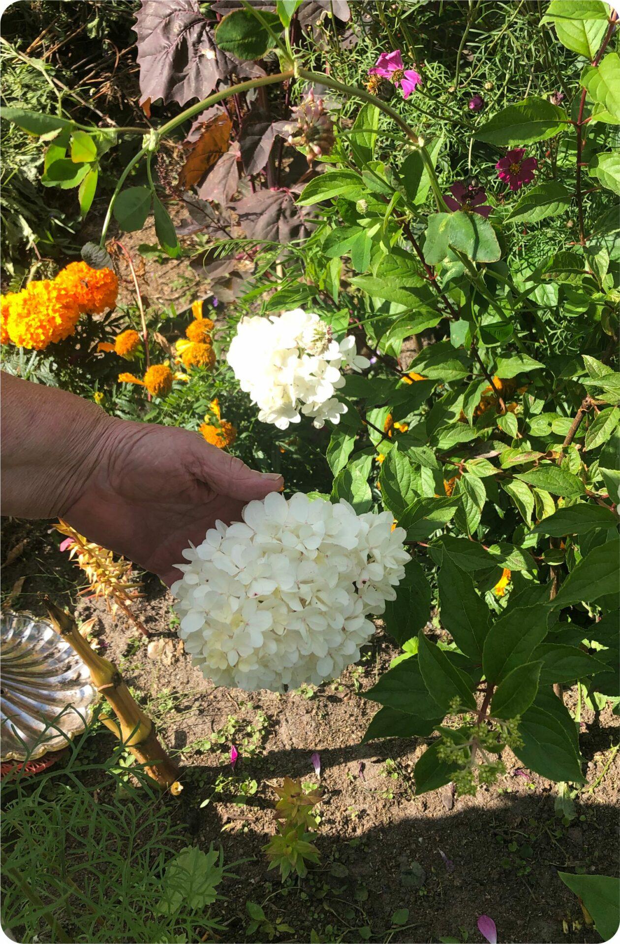 Гортензии на севере растут неохотно, но у нашей дачницы цветут и пахнут.