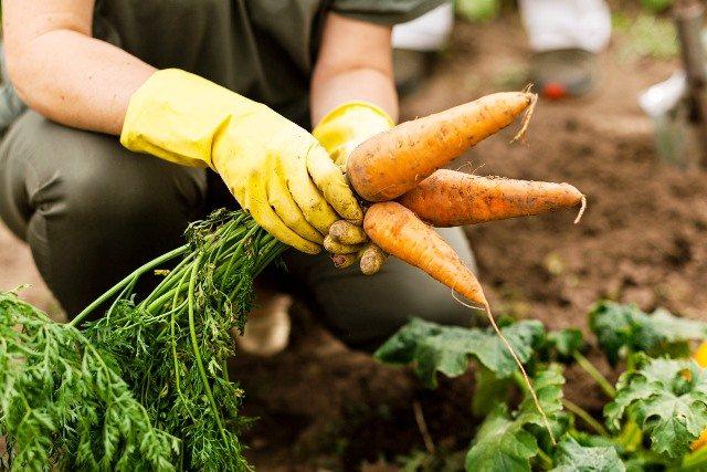 Морковь первой свежести