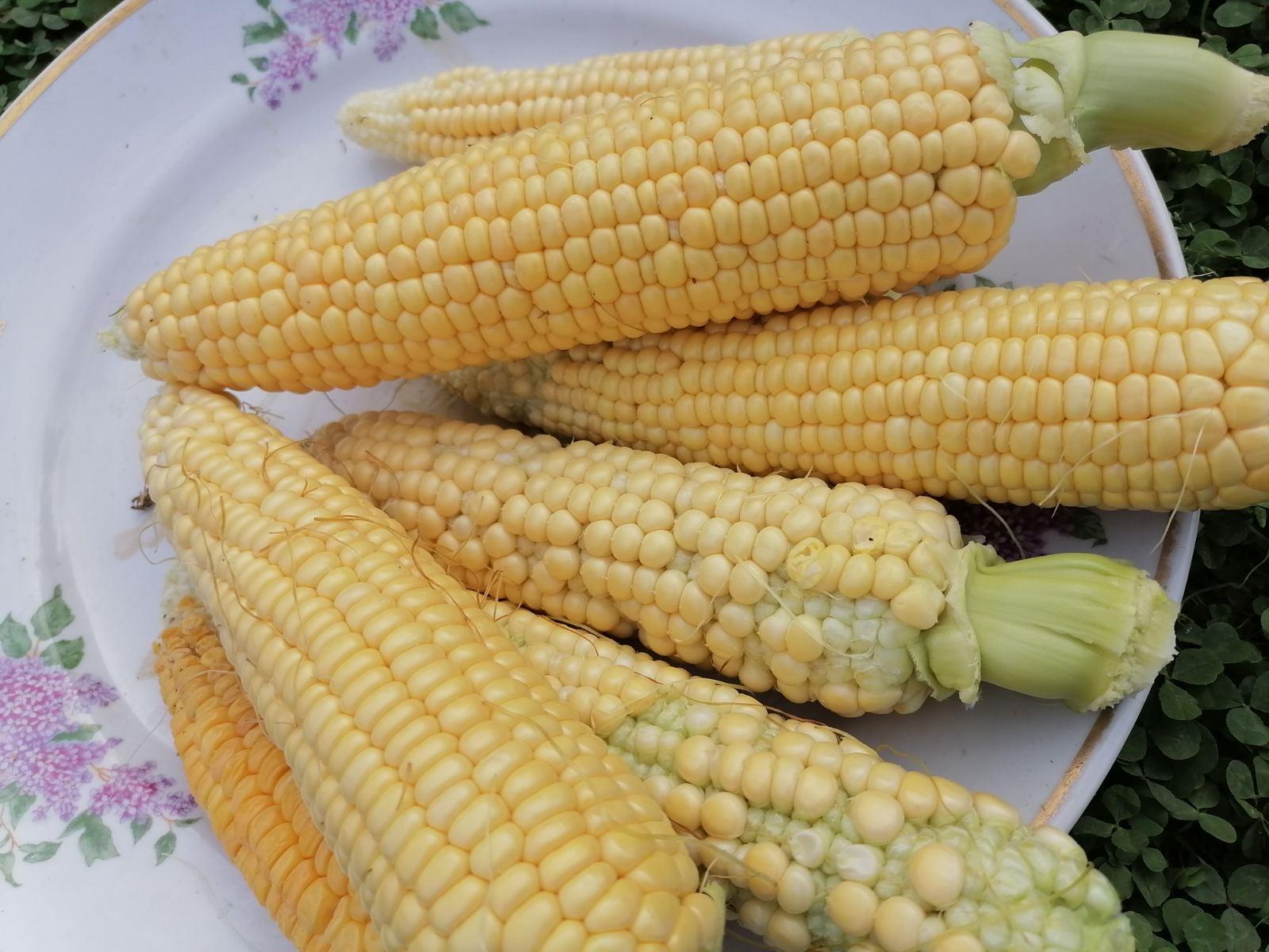 Кукуруза Линиковой